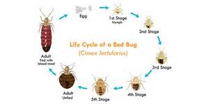 Couch Vs Sofa by The Life Cycle Of Bed Bugs Allergy Amp Air