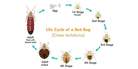 Do Bed Bugs Lay Eggs In Electronics