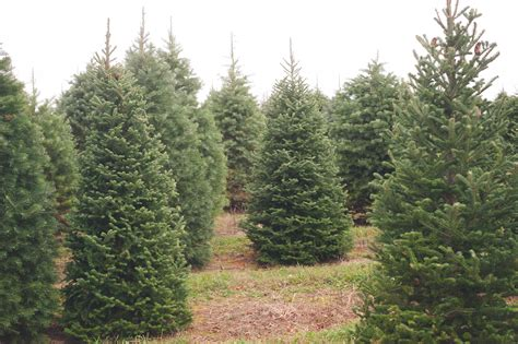 best 28 christmas tree farms in washington state the