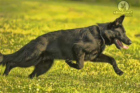 black shepherd the black german shepherd true or myth shepped