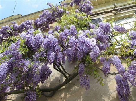tende lilla glicine glicine wisteria sinensis wisteria sinensis piante