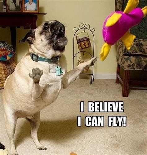 can pugs fly 67 best memes images on