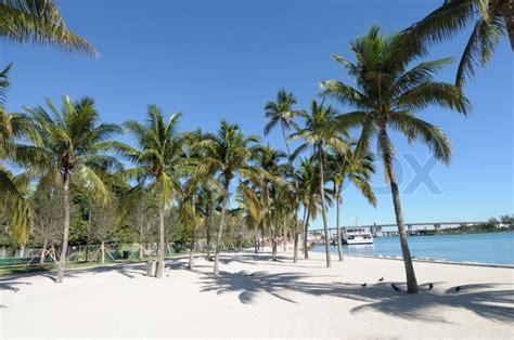 trees in miami palm trees in downtown miami florida usa stock photo