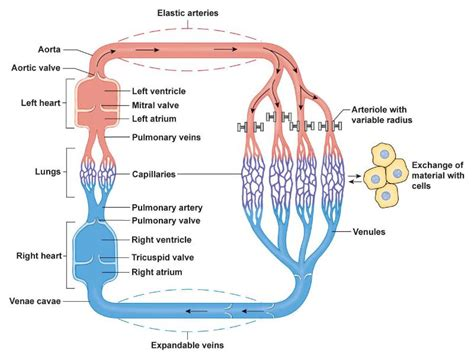 pattern of heart blood flow the heart can be thought of 2 separate pumps