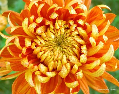 november flower november birth flower chrysthenthemum asher and