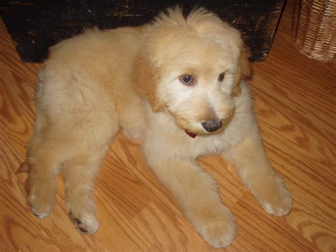 golden retriever cut golden retriever show hair cuts black hairstyle and haircuts