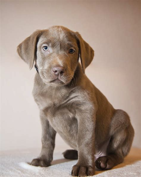 silver lab puppies price yorkie poo rescue rachaeledwards