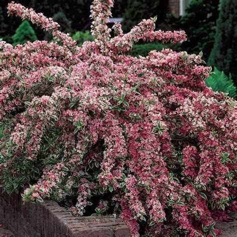 partial sun flowering shrubs variegated weigela plant