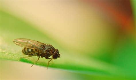fruit flies greenshield pest control