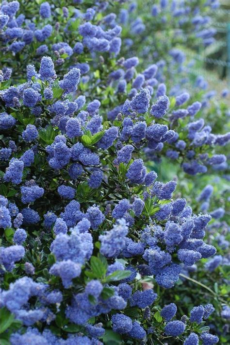 evergreen shrubs with blue flowers 25 best ideas about evergreen trees landscaping on