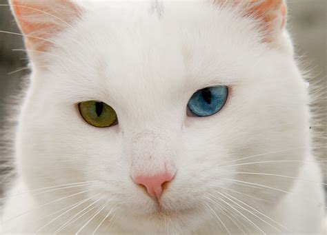 white cat with odd eyes white odd eyed cat flickr photo sharing