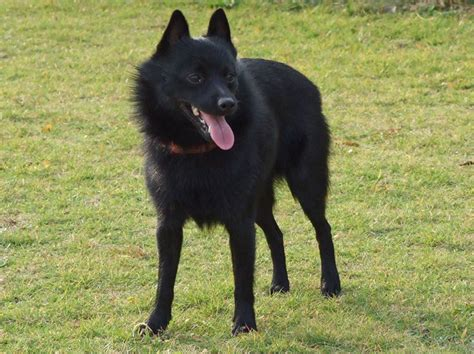 schipperke puppies schipperke info temperament diet puppies pictures