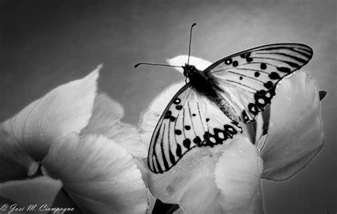 imagenes variadas en blanco y negro mariposa en blanco y negro las fotos del profe jos 233