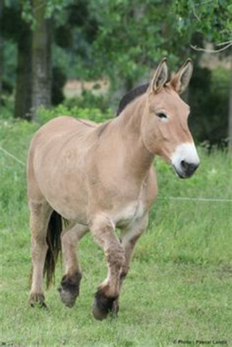 fjord mule 1000 images about horses on pinterest fjord horse wild