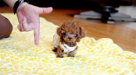 lifespan of teacup poodle 12 adorable photos that prove you need teacup poodles in