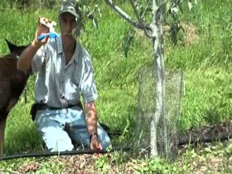 fruit tree watering system drip irrigation tubing installed in an orchard
