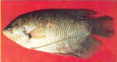 Bibit Ikan Gurame Ciamis artikel ikan gurame budidaya gurame