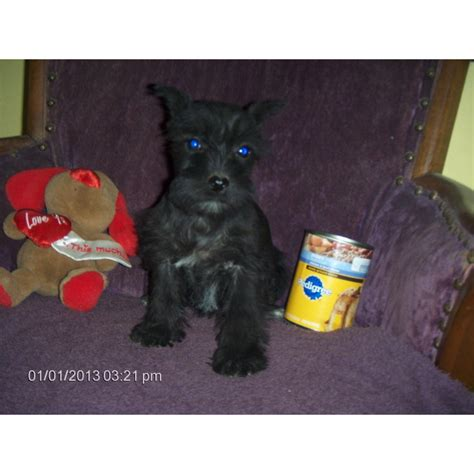 puppies for sale mn craigslist miniature schnauzer price image search results breeds picture