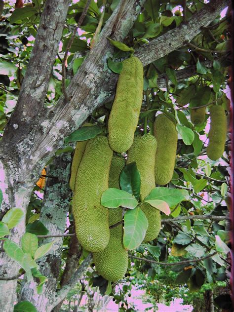 tropical fruit trees australia fruit trees fruit and trees on