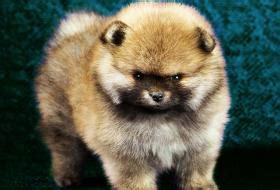 signs of pomeranian dying miniature shar pei puppies
