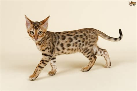 cat breed the five most expensive cat breeds in the world pets4homes