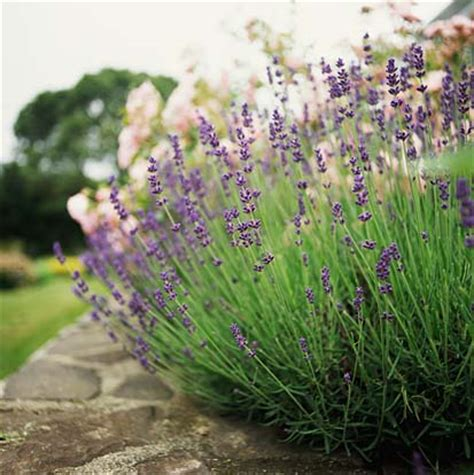 all things lavender a blog by jennifer vasich growing lavender 101 spring pruning