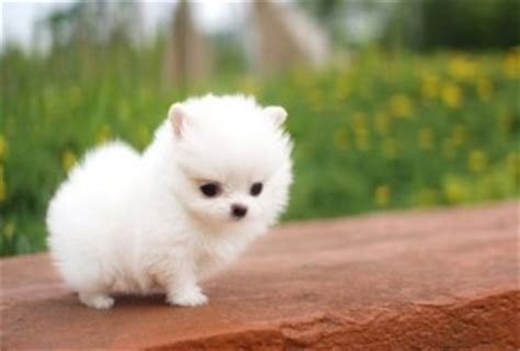 pomeranian puppies for sale in south carolina puppies for sale in south carolina petsale inc