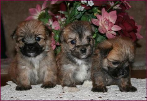 yorkie x maltese puppies for sale morkie yorktese yorkie maltese puppies for sale iowa