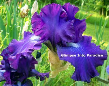 bearded color change do bearded iris change color glimpse into paradise iris
