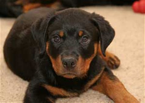 rottweiler rescue ca rottweiler puppy rescue california dogs our friends photo