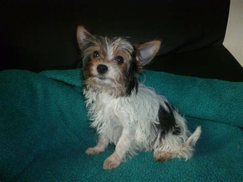 yorkie terrier names parti color yorkie sidcup kent pets4homes