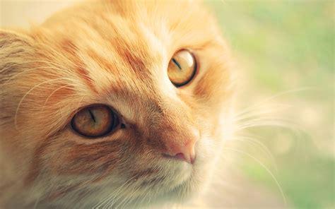 wallpaper cat orange orange cat wallpaper 1377459