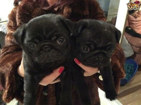 pugs for sale liverpool 2 black pugs for sale liverpool merseyside pets4homes