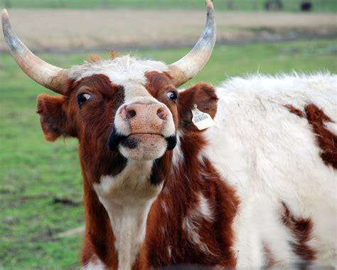 imagenes locas de animales paciente muere de trastorno cerebral atribuido a vacas