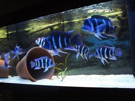 Ikan Hias Frontosa Burrundi Burayak 17 best images about frontosa on image search