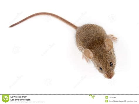 looking for a house house mouse looking up mus musculus royalty free stock