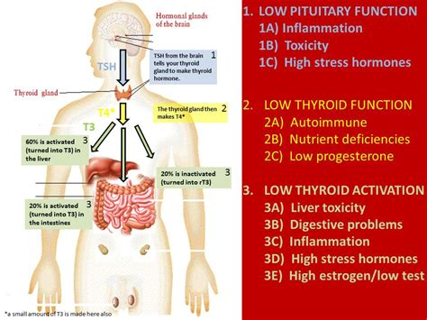Thyroid And Liver Detox by Image Gallery Lipoma And Underactive Thyroid