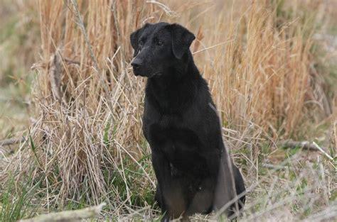 american lab puppies american labrador american labrador puppies duck breeder