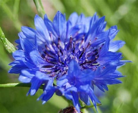 fiori azzurri nomi costruire giardino giardino fai da te