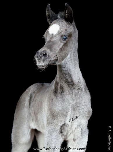 Hadban Black H mares