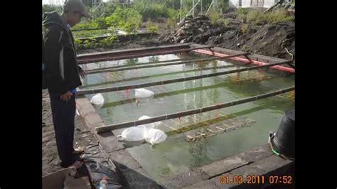 Bibit Udang Galah Air Tawar cara budidaya udang galah kolam terpal pin bb 74b2bdd0