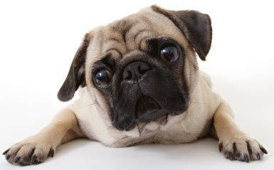 pugs and human allergies food allergies and toxic foods