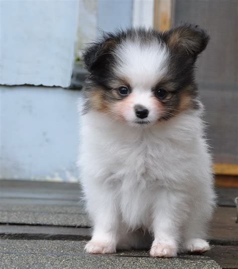 papillon puppies puppy dogs papillon puppies