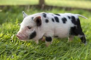 pigs sale