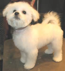 pictures of hairstyles for maltese dogs maltese haircuts styles pictures here we are maltese