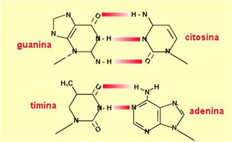 cadena de adn bases nitrogenadas el a d n y sintesis proteica