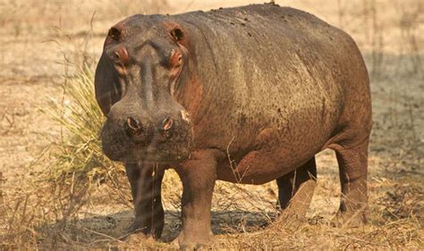 Hippo Top 1 feast day of st augustine of hippo top 10 facts about hippopotamuses top 10 facts