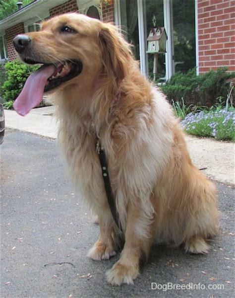 7 month golden retriever behavior golden retriever breed pictures 3