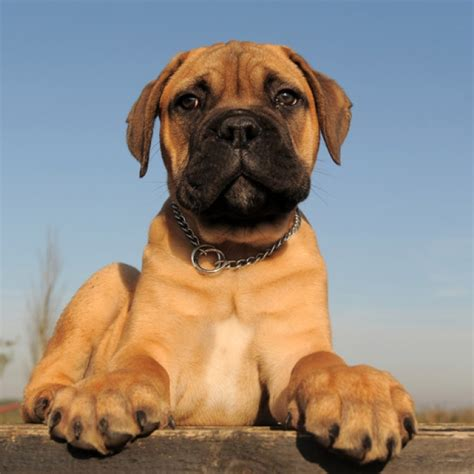 mastiff breeds mastiff puppy mastiff breed information