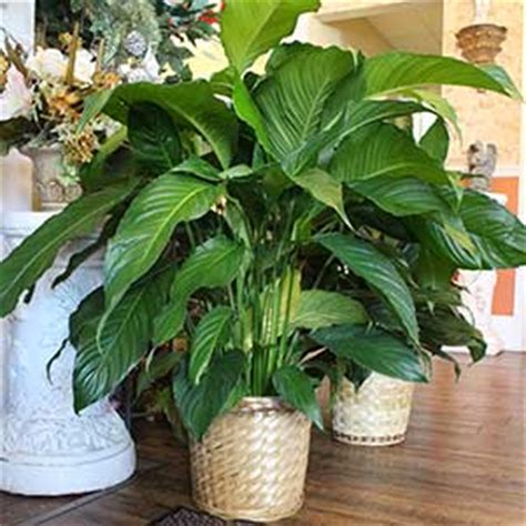 common house plants for funerals types of house plants for funerals popular house plans